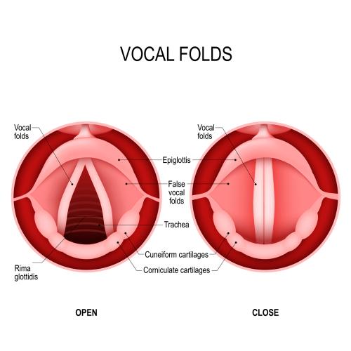 声帯のイラスト